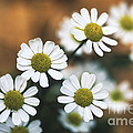 Feverfew Plant by George Mattei