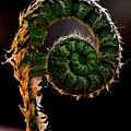 Fiddlehead by Nathan Thomas