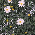 Field Daisies by Ian  MacDonald
