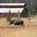 Field Moose by Dan Dooley