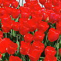 Field Of Brilliant Red Tulip Flowers In A Garden by DejaVu Designs