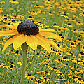 Field Of Coneflowers by Sandi OReilly