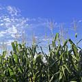 Field Of Corn Against A Clear Blue Sky by Kenneth Garrett