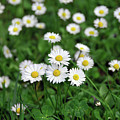 Field Of Daisies by Ilaria Andreucci