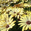 Field Of Daisies Landscape Floral Art Prints Daisy Baslee Troutman by Baslee Troutman