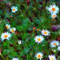 Field Of Daisys  by David Lane