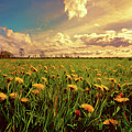 Field Of Dandelions At Sunset by Elaine Plesser
