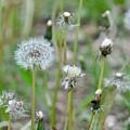 Dandelions In Seed by Csilla Florida