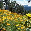 Field Of Golden  Poppies by Jody Neumann