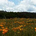 Field Of Poppies by Elizabeth Waitinas