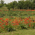 Field Of Poppies On Torcello In Venice by Michael Henderson