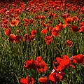Field Of Poppies by Roger Mullenhour