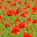 Field Of Poppies by Wolfgang Stocker
