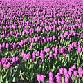 Field Of Purple Flowers by Carol Groenen