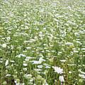Field Of Queen Annes Lace by Lise Winne