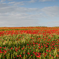 Field Of Red Poppy Anemones Late In Spring  by Michalakis Ppalis