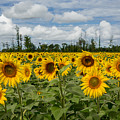 Field Of Sunflowers by Dale Kincaid