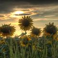 Field Of Sunflowers by John Dauer