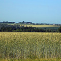 Field Of Wheat by William Tasker