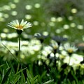 Field Of White Daisies by Lynda Anne Williams