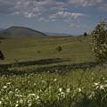 Field Of White Flowers by Sara Stevenson