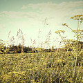 Field Of Wild Dill In The Afternoon Sun  by Sandra Cunningham