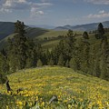 Field Of Yellow Flowers by Sara Stevenson