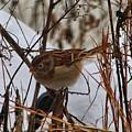 Field Sparrow by Kathryn Meyer