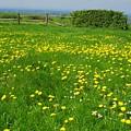Field With Yellow Flowers by Elena Ivanova