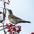 Fieldfare - 2 by Chris Smith