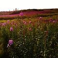 Fields In Pink by Lori Mahaffey
