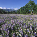 Fields Of Lupine And Owl Clover by Rich Reid