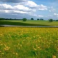 Fields Of Yellow by Cindy  Riley