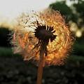 Fiery Dandelion by Michele Stoehr