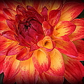 Fiery Red And Yellow Dahlia by Dora Sofia Caputo Photographic Design and Fine Art