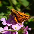 Fiery Skipper Butterfly by Brian Tada
