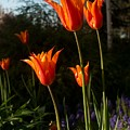 Fiery Tulips by Teresa Herlinger