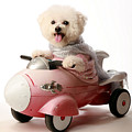 Fifi The Bichon Frise And Her Rocket Car by Michael Ledray