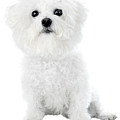 Fifi The Bichon Frise In White On White by Michael Ledray