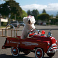 Fifi The Bichon Frise To The Rescue by Michael Ledray
