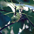 Fig by Flavia Westerwelle
