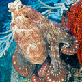Fiji, Day Octopus by Dave Fleetham - Printscapes