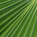 Fiji Fan Palm by Monika Tymanowska