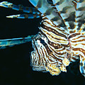 Fiji, Lionfish by Dave Fleetham - Printscapes