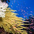 Fijian Reef Scene by Dave Fleetham - Printscapes