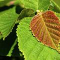 Filbert Leaf by Grant Groberg