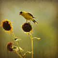 Finch 1 by Todd Hostetter