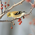 Finch Eyeing Seeds by Deborah Benoit