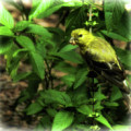 Finch Perched On Basil Plant by Ola Allen