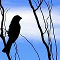 Finch Silhouette 1 by Will Borden